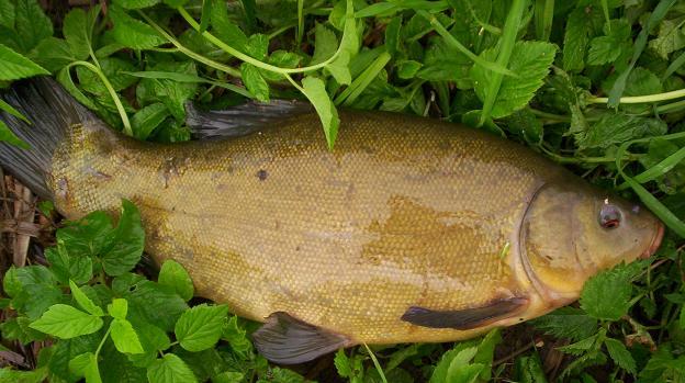Линь (Tinca Tinca) - костистая рыба семейства карповых (Cyprinidae).